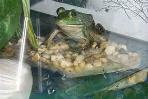 welcome to froggyville pet frog gallery