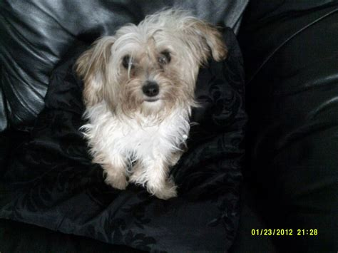 yorkie bichon mix temperament bichon frise yorkie mix breeds picture