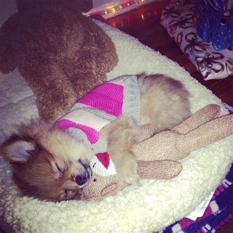 pomeranian diet to lose weight 17 best images about on chihuahuas pug and teacup pomeranian
