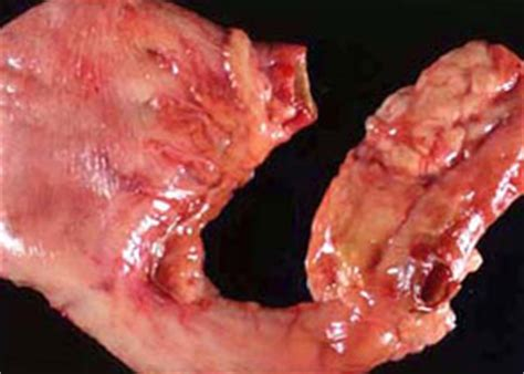 stomach ulcer in dogs canine intestinal and stomach cancers
