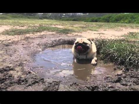 mud pug this pug to chill at the funnydog tv