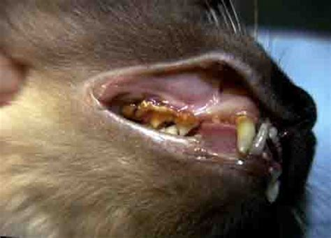 old cat disease cat teeth how to brush and problem treatment