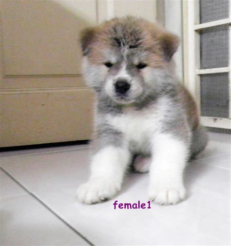 japanese akita puppies for sale hachiko a dogs story richard gere foto dal 09 mid book covers