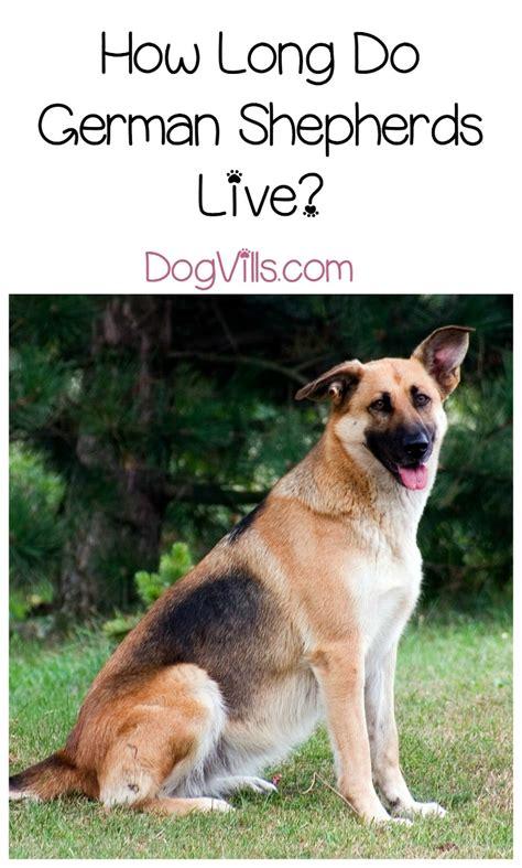 german shepherd expectancy how do german shepherds live dogvills