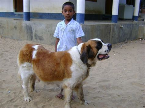 st bernard puppies price st bernard puppies for sale rajesh 1 6566 dogs for sale price of puppies