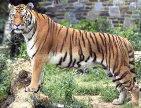 Cute tigers pictures