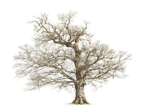 Drawing Trees by Drawings Of Oak Trees Drawing Pencil