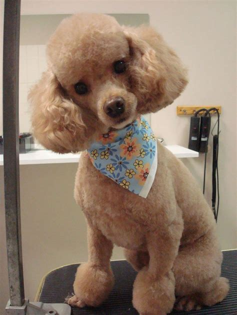 poodle haircuts images french poodle haircut pictures hairstyle gallery