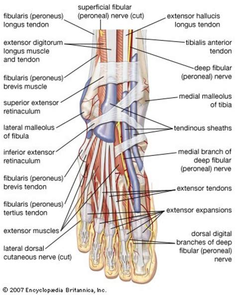 foot diagram foot anatomy tendons and ligaments human anatomy diagram