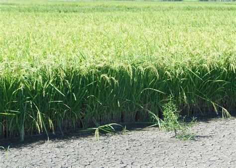 new rice growing plan uses same mississippi