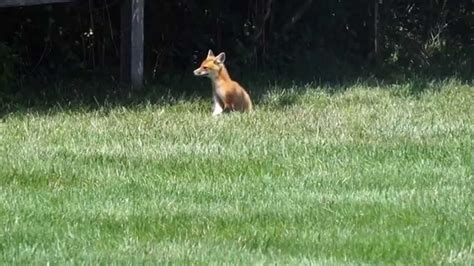 foxes in my backyard fox in my backyard youtube