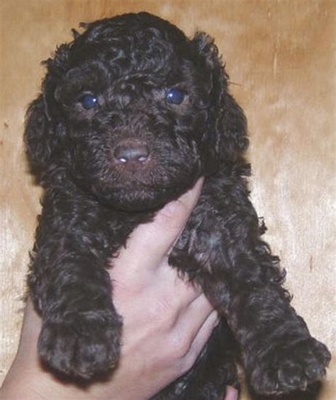 schnoodle puppies for sale in ohio breeds big breeds breeds terrier best breeds breeds picture