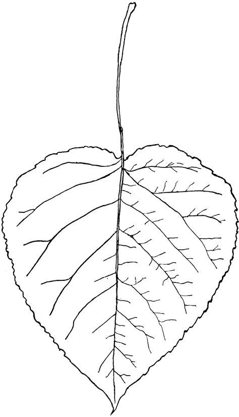 Genus Populus, L. (Aspen, Poplar)   ClipArt ETC