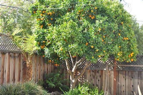 fruit cocktail tree four in one fruit cocktail tree gardening nirvana