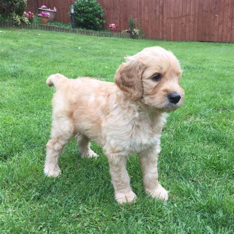 goldendoodle puppies for sale in colorado goldendoodle f1b golden boy available derby derbyshire