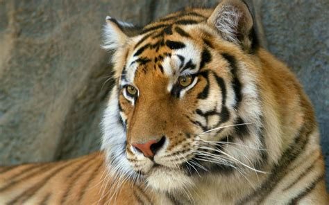 imagenes de tigres cool 30 beautiful and cool tiger pictures a house of fun