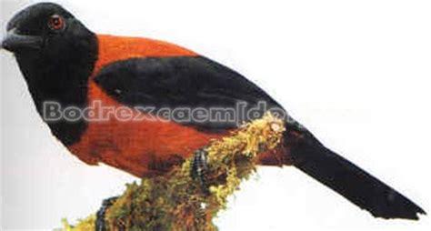 Ternak Cacing Nan hooded pitohui info burung kicauan