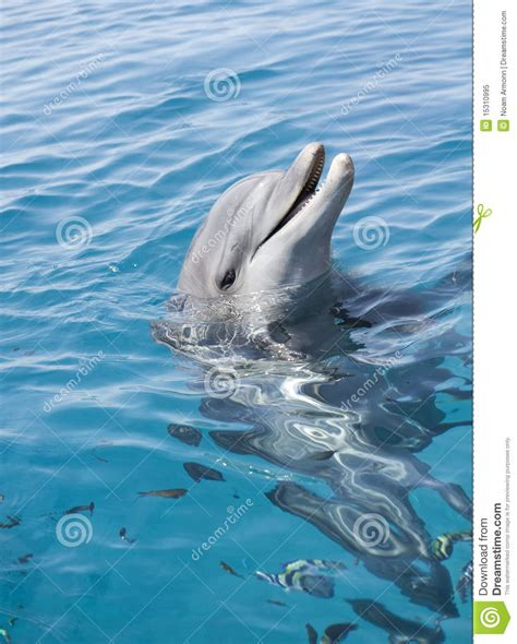 Bottle-nosed Dolphin Royalty Free Stock Photo - Image ...