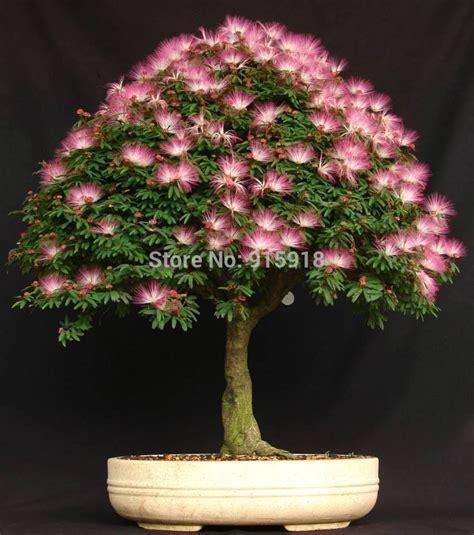 bonsai 10 seeds live flowering house plant indoor garden 50 pcs bag acacia tree seeds albizia julibrissin