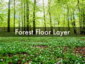 Plants That Live In The Forest Floor by What Plants Live In The Forest Floor Layer Thefloors Co