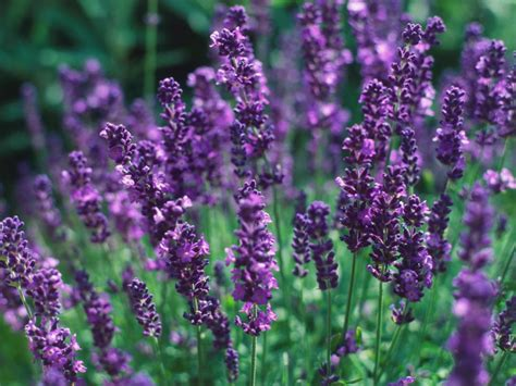 choosing lavender plants lavender varieties hgtv