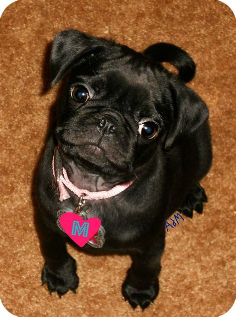 pug in the world the cutest pug puppy in the whole world things that make you go a