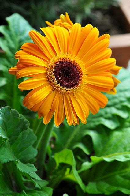 gerber daisies gerber daisy flowers pinterest