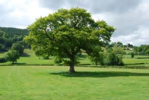 Oak wood information about oak furniture wood and trees