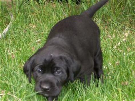 lab puppies for sale in utah labrador retriever puppies in utah