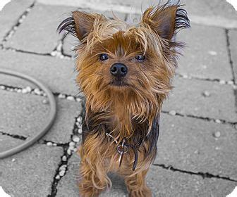 yorkies for adoption in pa max adopted a17396707 philadelphia pa yorkie terrier