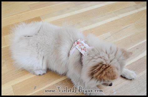 pomeranian puppy harness how to pretty up a puppy harness violet lebeaux tales of an ingenue