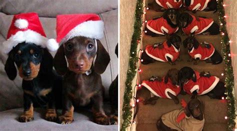 man      dogs  pose  christmas photo