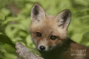 Superb Fine Art For Sale #4: 1-baby-red-fox-robert-pearson.jpg