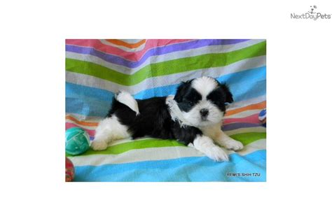 shih tzu puppies for sale in albuquerque shih tzu puppy for sale near albuquerque new mexico 54642ecc 8d61