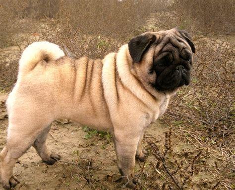 mascotas pug perro pug o carlino 758 215 613 razas de perros