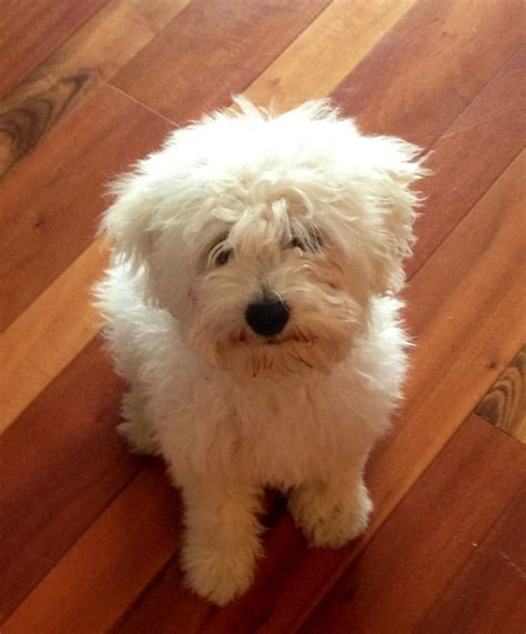is honey bad for dogs the 25 best hungarian puli ideas on puli mop and hungarian