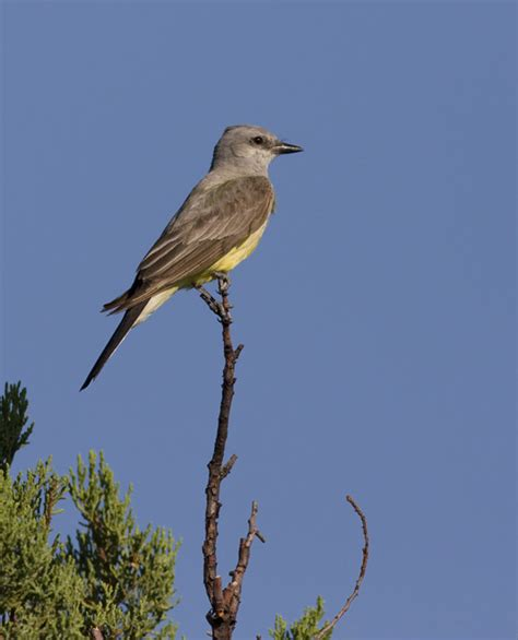 bill hubick photography western kingbird tyrannus