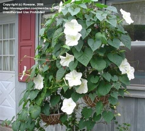 plantfiles pictures moonflower moon vine giant white moonflower ipomoea alba by rowane
