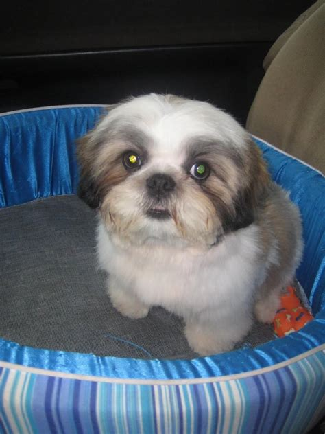 shih tzu fever photos of groomed shih tzu