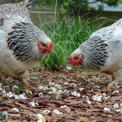 172 best backyard poultry magazine on instagram images on