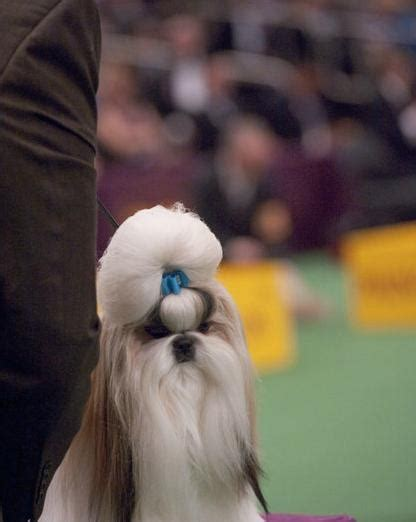 best shoo for shih tzu 17 best images about shih tzu on best dogs puppys and pets