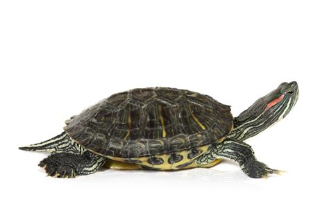 Turtle L by Turtles Of Missouri Missouri S Heritage