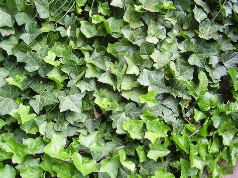 Wie Pflanze Ich Eine Hecke 5269 by Hecken Sichtschutz Im Garten Schweiz Tipps