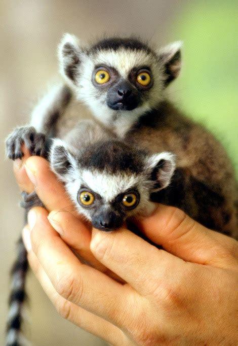 baby lemur cute baby animals