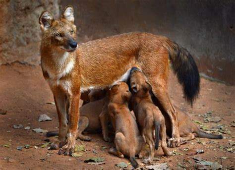 dhole puppy 17 best images about dhole on hunt s dogs and indian