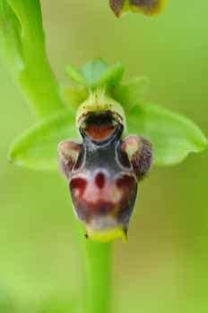 1332383939 flore des alpes maritimes vol ophrys