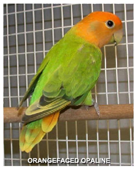 Kerudung Lovebird 16 tahun opaline bahan utama dalam mencetak mutasi lovebird klub burung