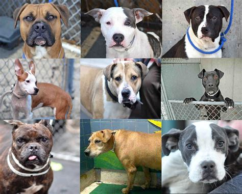 all different breeds different kinds of pit bulls breeds picture