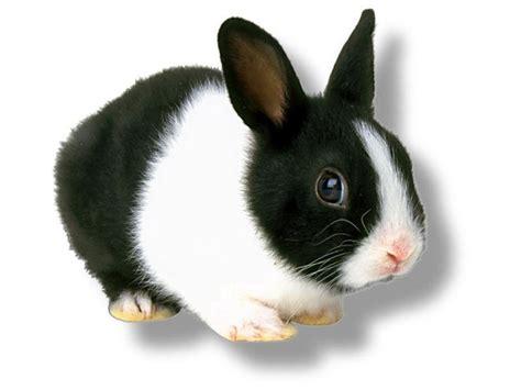 black and white rabbit wallpaper little white and black rabbit jpg cute bunny hd wallpaper