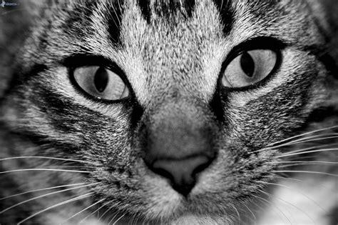 imagenes blanco y negro de gatos mirada de gato